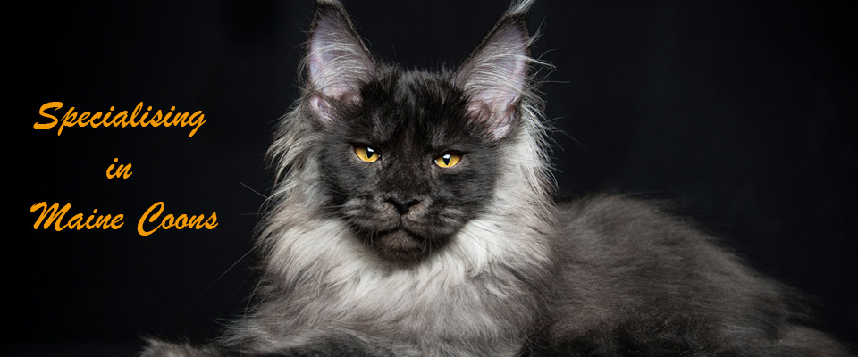 Specialising in Maine Coons