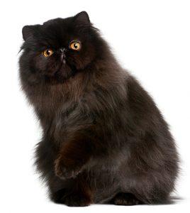 Persian Cat Groomer